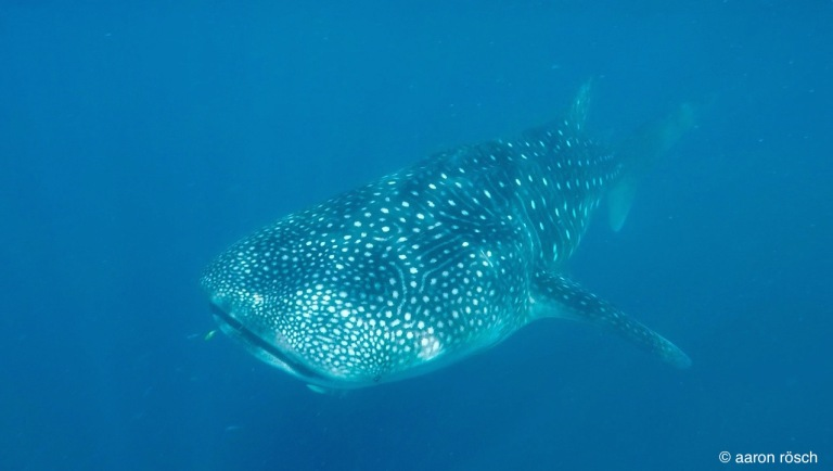 Whaleshark copy.jpg