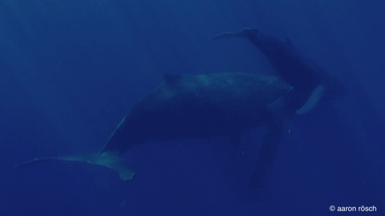 humpback with calf